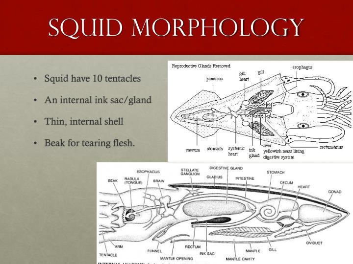 Squid Morphology