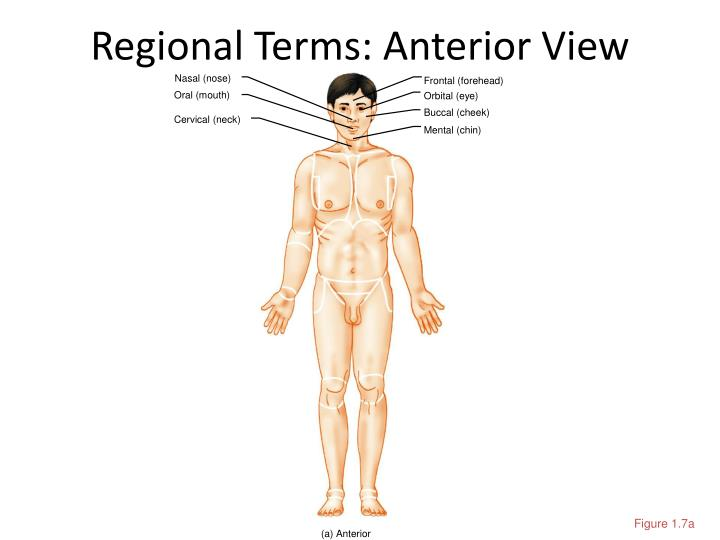Regional terms anterior view