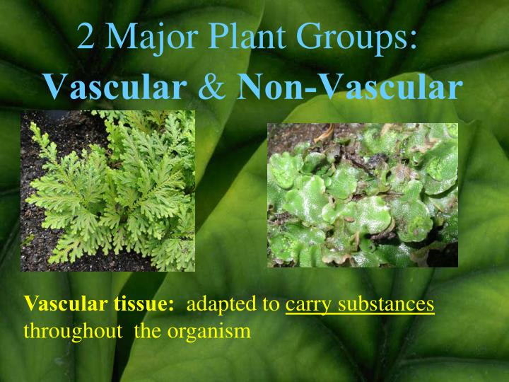 2 Major Plant Groups: