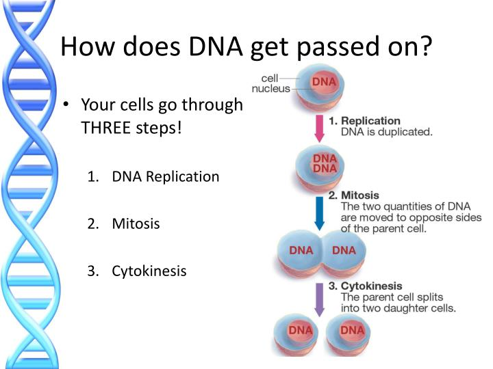 How does DNA get passed on?