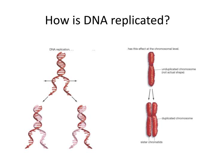 How is DNA replicated?