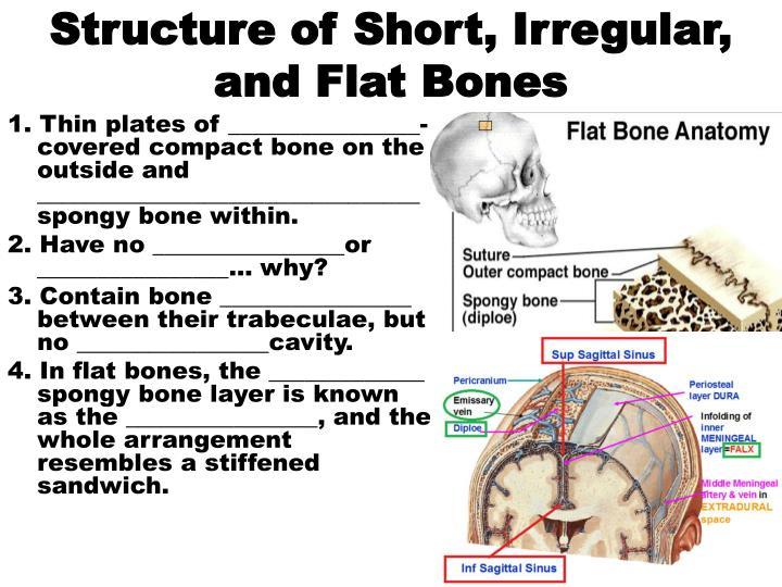 Structure of Short, Irregular, and Flat Bones