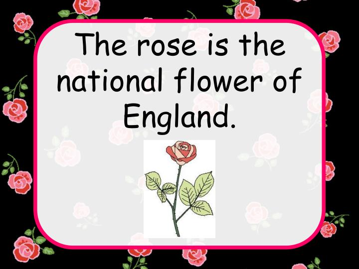 The rose is the national flower of England.