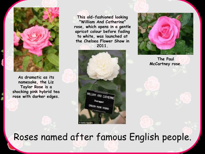 """This old-fashioned looking """"William And Catherine"""" rose, which opens in a gentle apricot colour before fading to white, was launched at the Chelsea Flower Show in 2011."""