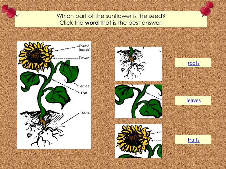 Which part of the sunflower is the seed?