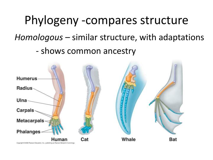 Phylogeny -compares structure