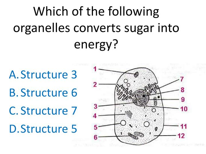 Which of the following organelles converts sugar into energy?