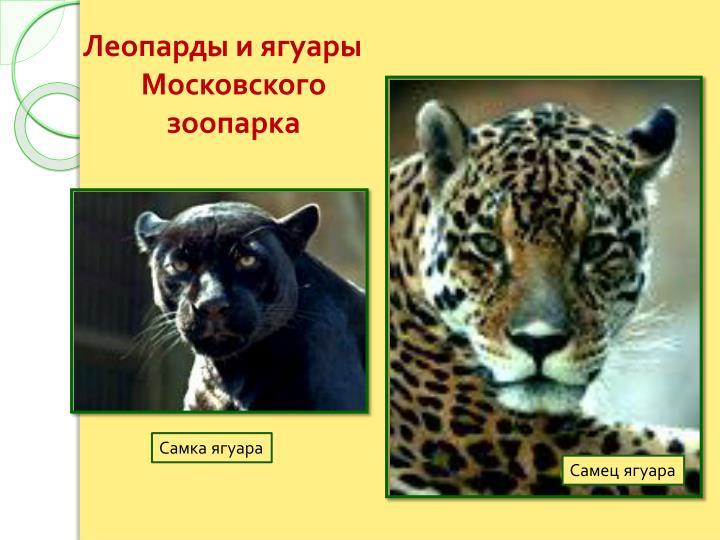 Леопарды и ягуары Московского зоопарка