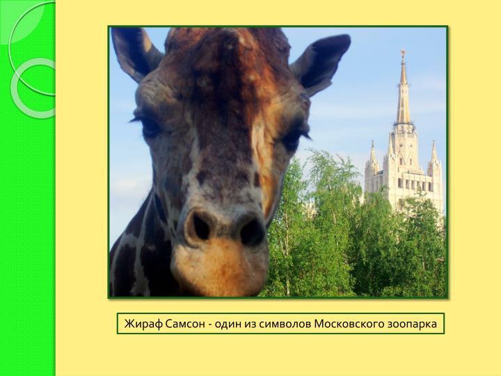 Жираф Самсон - один из символов Московского зоопарка