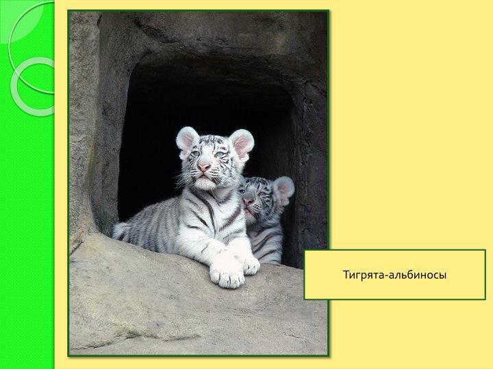 Тигрята-альбиносы