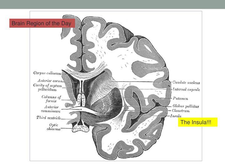 Brain Region of the Day