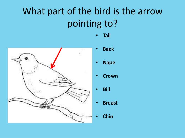 What part of the bird is the arrow pointing to?