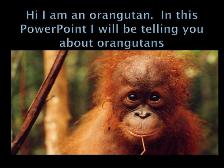 Hi I am an orangutan.  In this PowerPoint I will be telling you about orangutans
