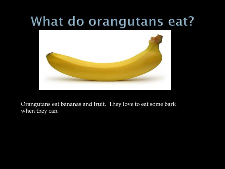 What do orangutans eat?