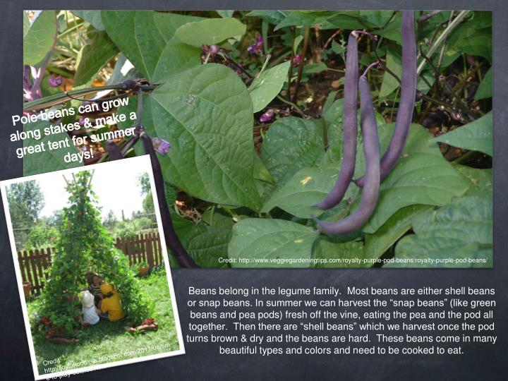"""Beans belong in the legume family.  Most beans are either shell beans or snap beans. In summer we can harvest the """"snap beans"""" (like green beans and pea pods) fresh off the vine, eating the pea and the pod all together.  Then there are """"shell beans"""" which we harvest once the pod turns brown & dry and the beans are hard.  These beans come in many beautiful types and colors and need to be cooked to eat."""
