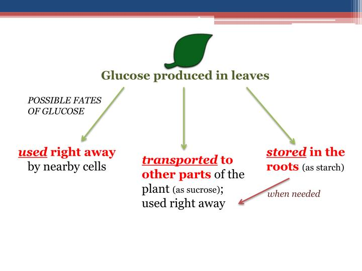 Glucose produced in leaves
