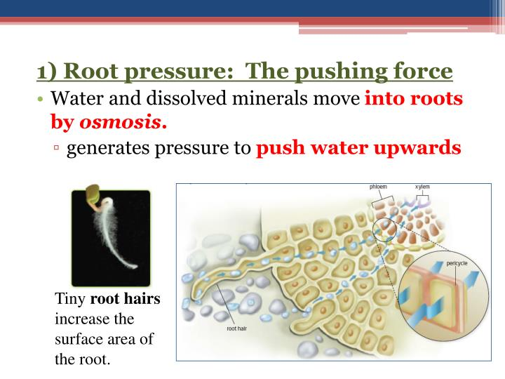 1) Root pressure:  The pushing force