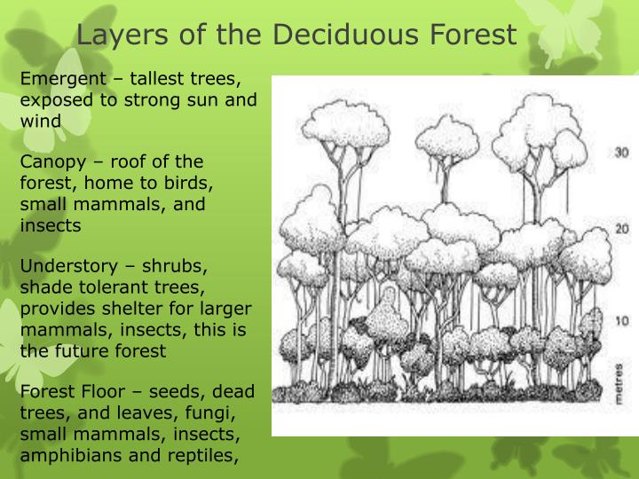 Layers of the Deciduous Forest