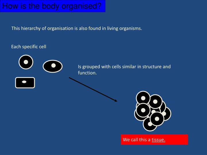 How is the body organised?
