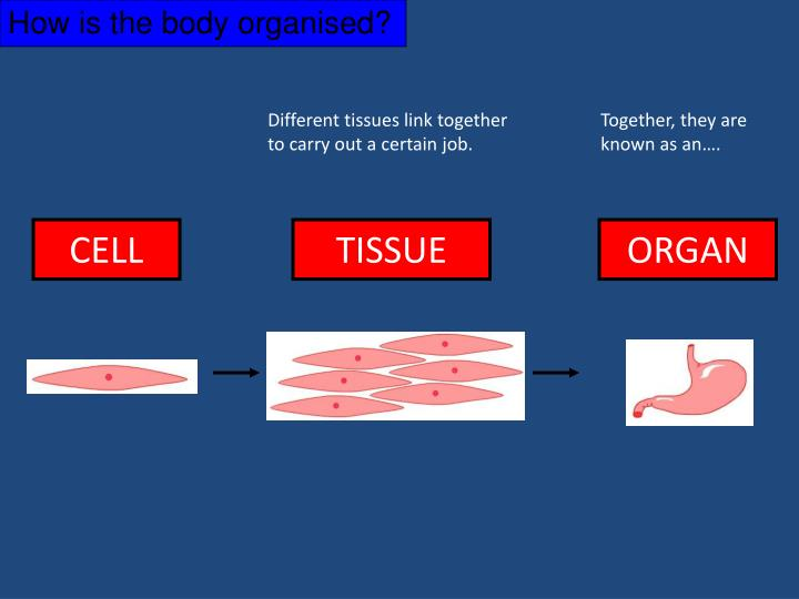 Different tissues link together to carry out a certain job.