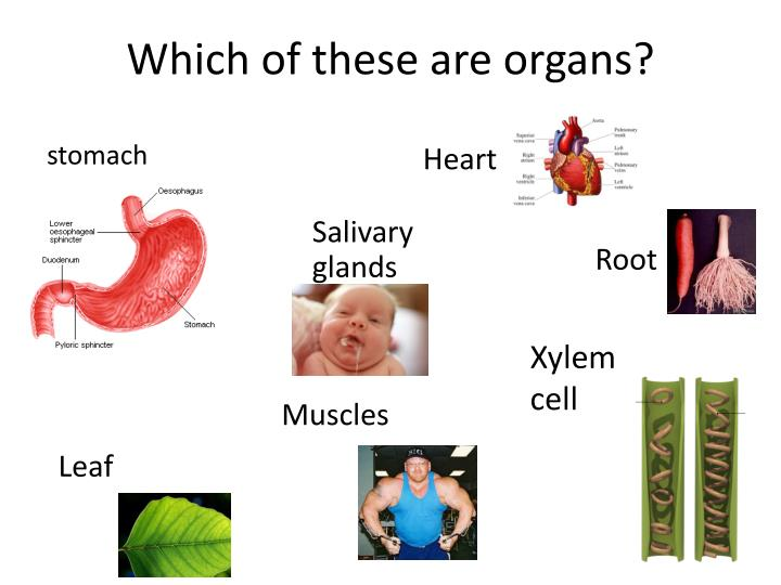 Which of these are organs?