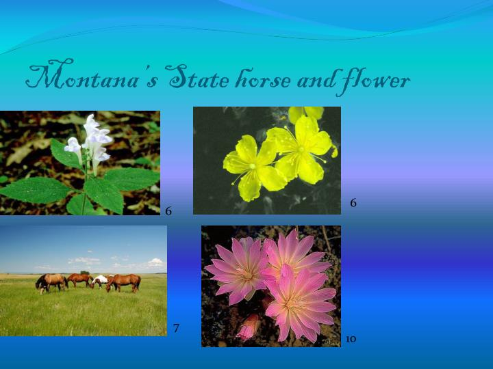 Montana's State horse and flower