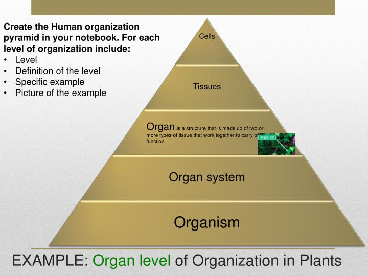 Create the Human organization pyramid in your notebook. For each level of organization include: