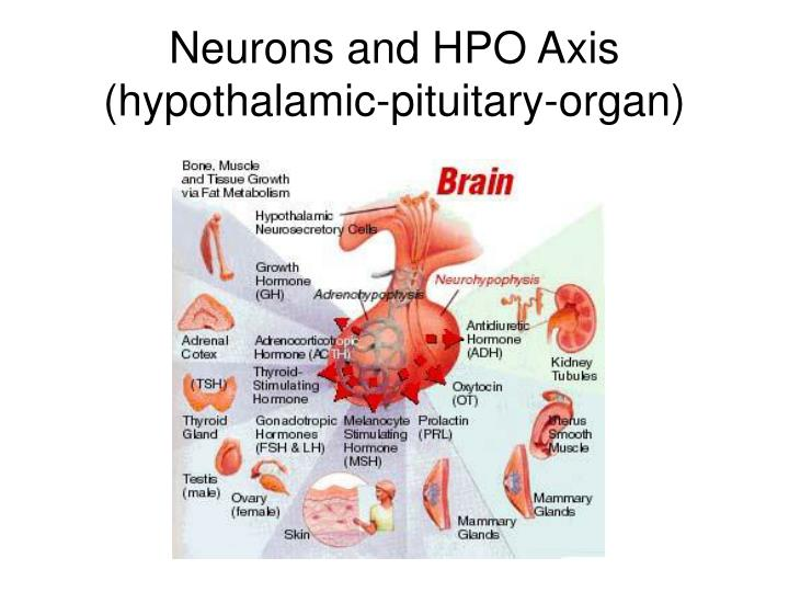 Neurons and hpo axis hypothalamic pituitary organ