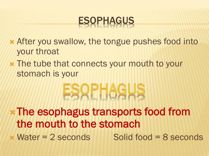 After you swallow, the tongue pushes food into your throat