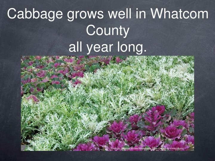 Cabbage grows well in Whatcom County