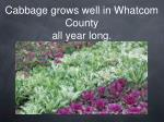 cabbage grows well in whatcom county all year long