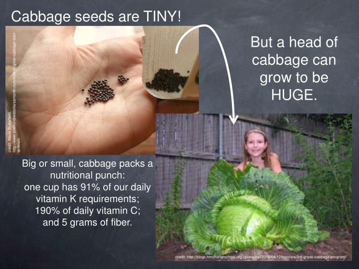 Cabbage seeds are TINY!