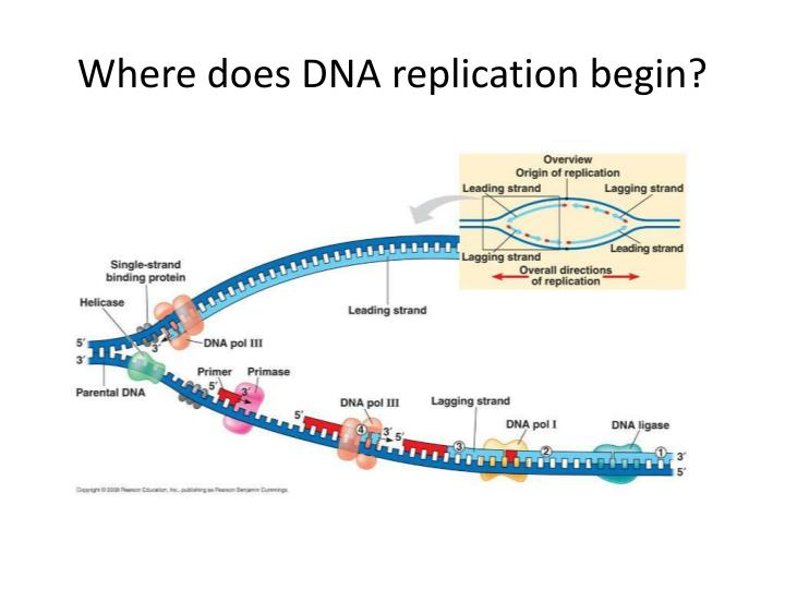 Where does DNA replication begin?