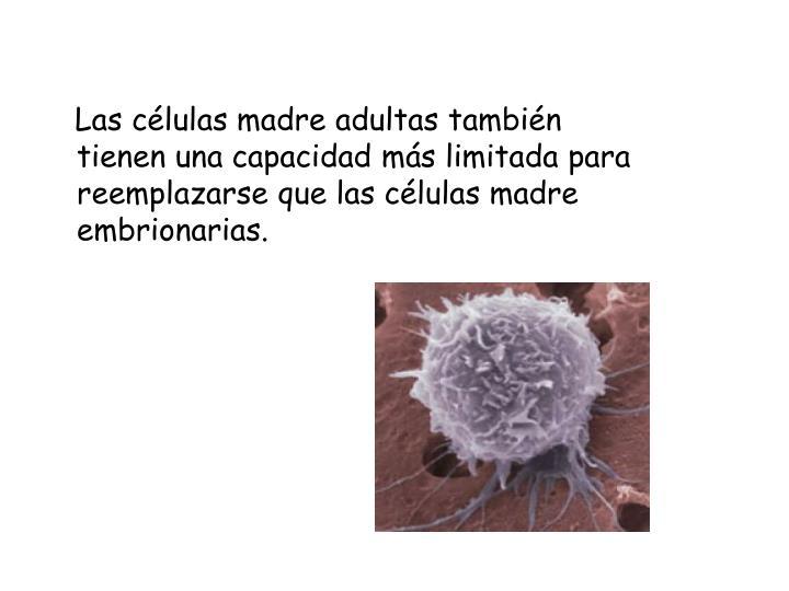Las células madre adultas también tienen una capacidad más limitada para reemplazarse que las células madre embrionarias.