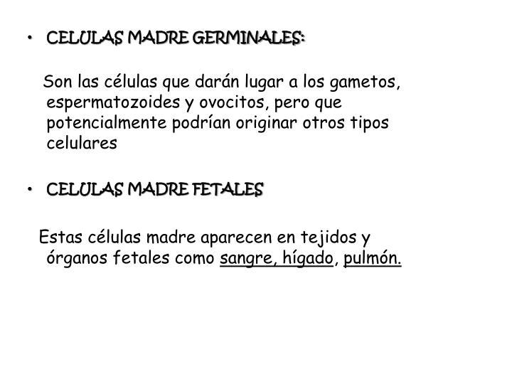 CELULAS MADRE GERMINALES