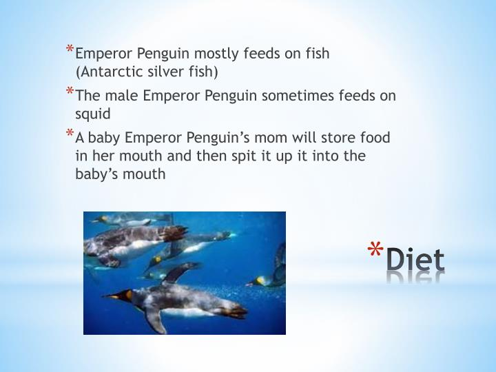 Emperor Penguin mostly feeds on fish (Antarctic silver fish)