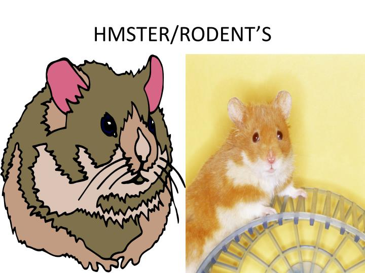 HMSTER/RODENT'S