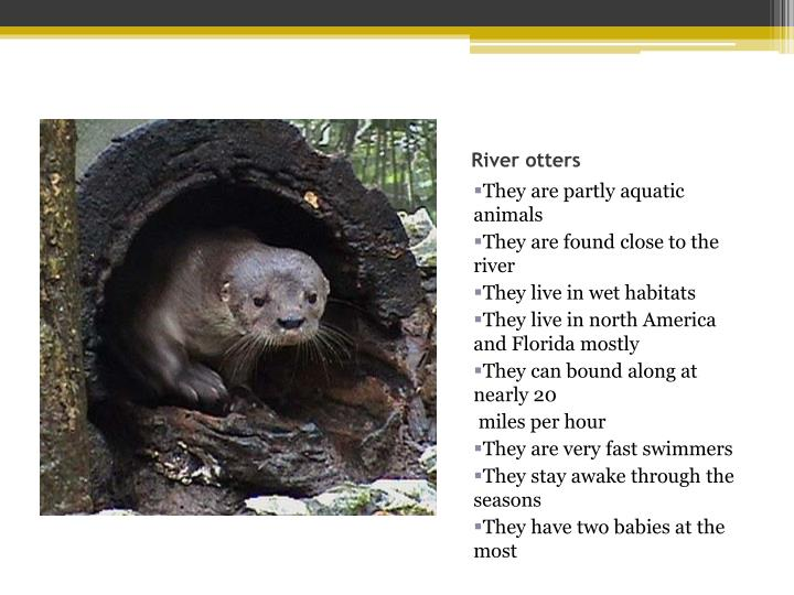 River otters2