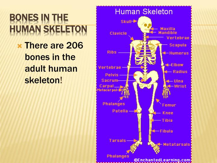 There are 206 bones in the adult human skeleton