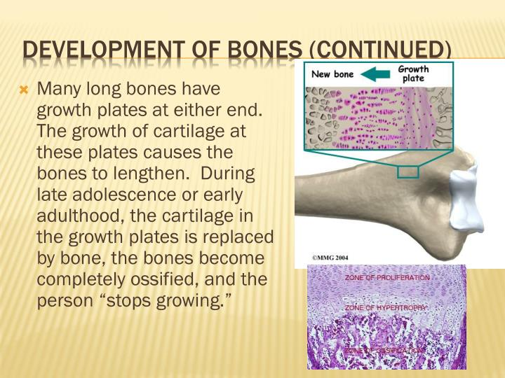 "Many long bones have growth plates at either end. The growth of cartilage at these plates causes the bones to lengthen.  During late adolescence or early adulthood, the cartilage in the growth plates is replaced by bone, the bones become completely ossified, and the person ""stops growing."""