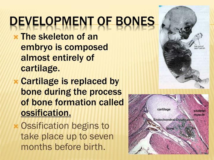 The skeleton of an embryo is composed almost entirely of cartilage.