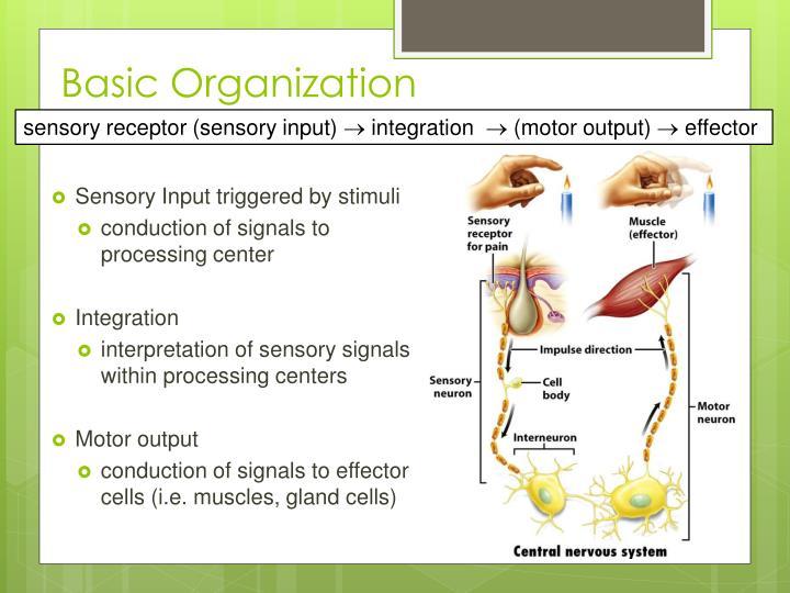 Sensory Input triggered by stimuli