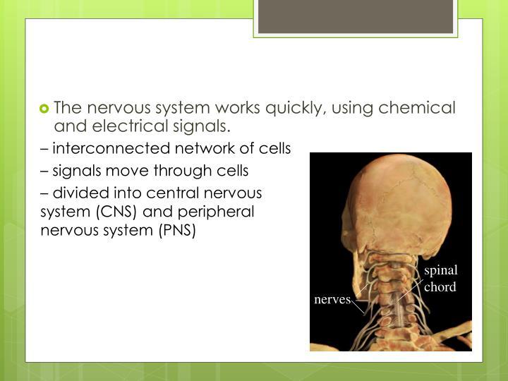 spinal chord