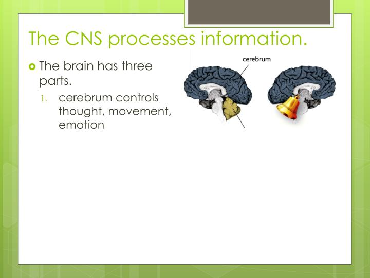 The CNS processes information.