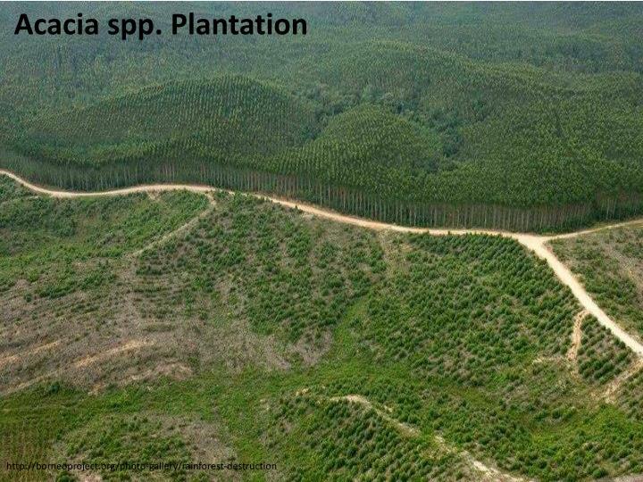 Acacia spp. Plantation