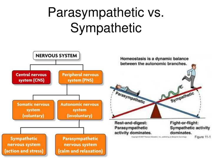 PPT - Neuron (Nerve Cell) PowerPoint Presentation - ID:2663810