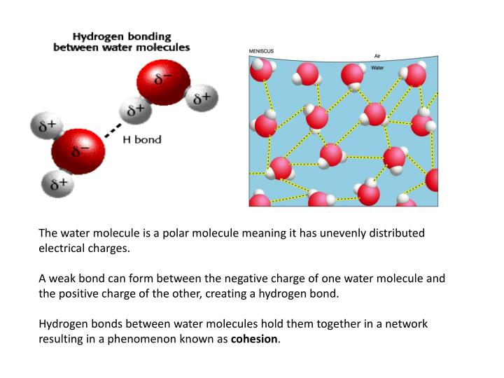 The water molecule is a polar molecule meaning it has unevenly distributed electrical charges.