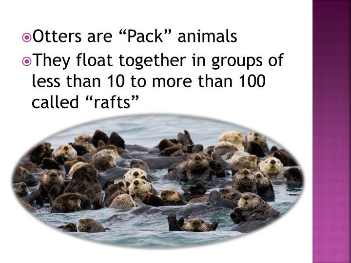 """Otters are """"Pack"""" animals"""