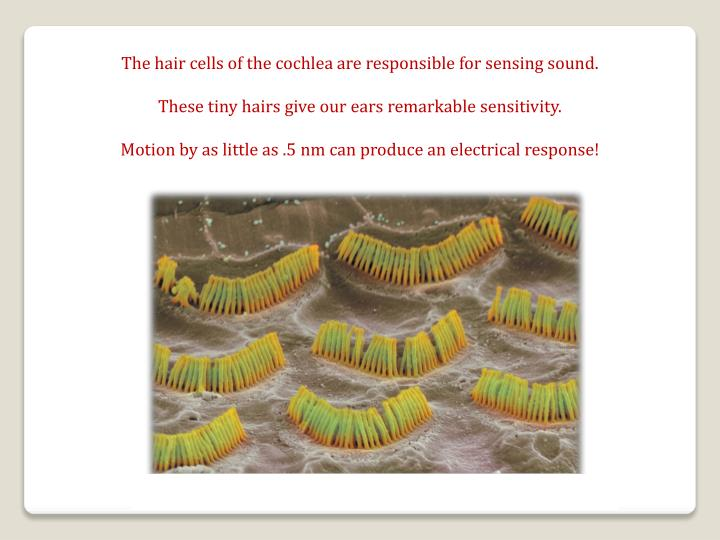 The hair cells of the cochlea are responsible for sensing sound.