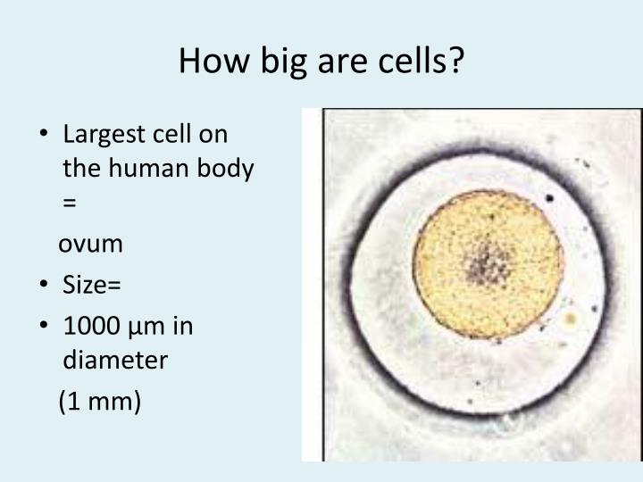 How big are cells?